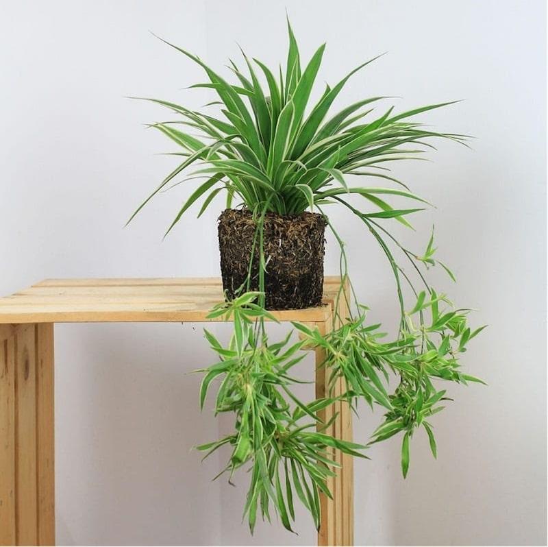 các loại cây cảnh dễ trồng